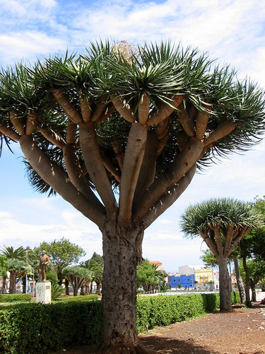 Dragon's Blood Tree, 8 Seeds (Dracaena Draco, Dragon's Blood)