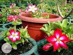 Adenium Obesum Mini Size Mixed seeds