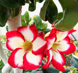 Adenium Obesum Mini Size sunrise Star seeds
