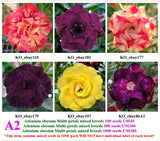 A2. Adenium obesum Multi-petals mixed breeds