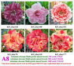 A8. Adenium obesum Multi-petals mixed breeds