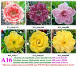 A16. Adenium obesum Multi-petals mixed breeds