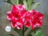 You are purchasing fresh seeds of Adenium Obesum Excellent Lover