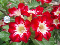You are purchasing fresh seeds of Adenium Obesum Flame of Love
