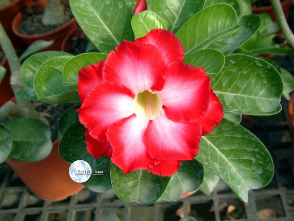 You are purchasing fresh seeds of Adenium Obesum Fragrant Cloud