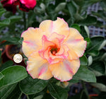 You are purchasing fresh seeds of Adenium KO_ebay101