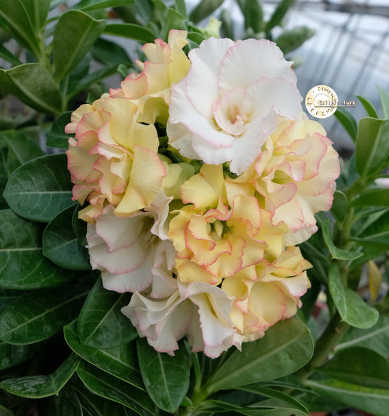 You are purchasing fresh seeds of Adenium KO_ebay106