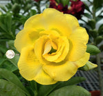 You are purchasing fresh seeds of Adenium KO_ebay107