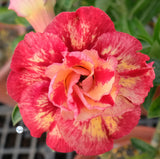 You are purchasing fresh seeds of Adenium KO_ebay110