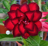 You are purchasing fresh seeds of Adenium KO_ebay112
