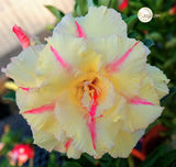 You are purchasing fresh seeds of Adenium KO_ebay117