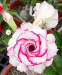 You are purchasing fresh seeds of Adenium KO_ebay120