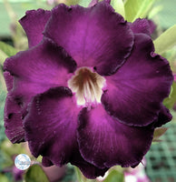 You are purchasing fresh seeds of Adenium KO_ebay123