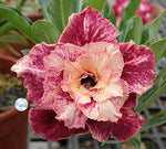 You are purchasing fresh seeds of Adenium KO_ebay131