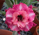 You are purchasing fresh seeds of Adenium KO_ebay134