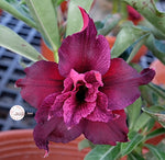 You are purchasing fresh seeds of Adenium KO_ebay139