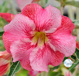 You are purchasing fresh seeds of Adenium KO_ebay145