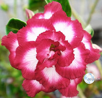 You are purchasing fresh seeds of Adenium KO_ebay146