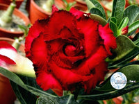 You are purchasing fresh seeds of Adenium KO_ebay14