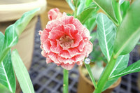 You are purchasing fresh seeds of Adenium KO_ebay153