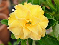 You are purchasing fresh seeds of Adenium KO_ebay165