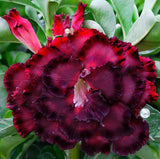 You are purchasing fresh seeds of Adenium KO_ebay183