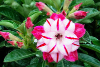 You are purchasing fresh seeds of Adenium KO_ebay218