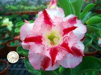You are purchasing fresh seeds of Adenium KO_ebay22