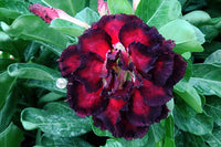 You are purchasing fresh seeds of Adenium KO_ebay250
