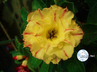 You are purchasing fresh seeds of Adenium KO_ebay26