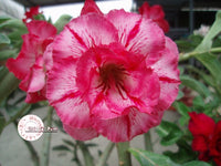You are purchasing fresh seeds of Adenium KO_ebay32