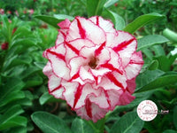 You are purchasing fresh seeds of Adenium KO_ebay36
