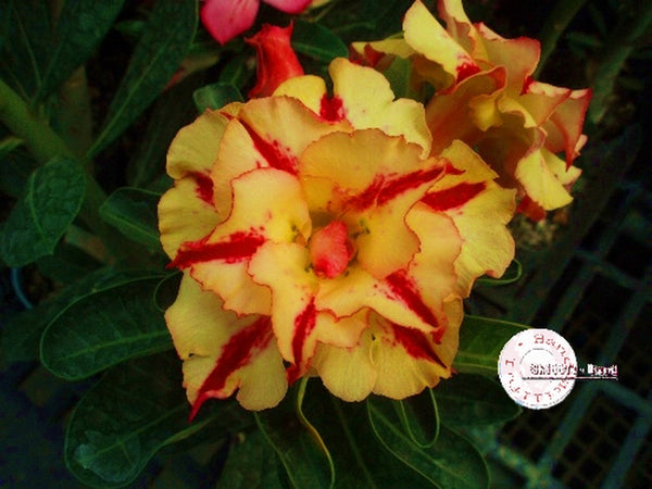 You are purchasing fresh seeds of Adenium KO_ebay37