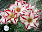 You are purchasing fresh seeds of Adenium KO_ebay38