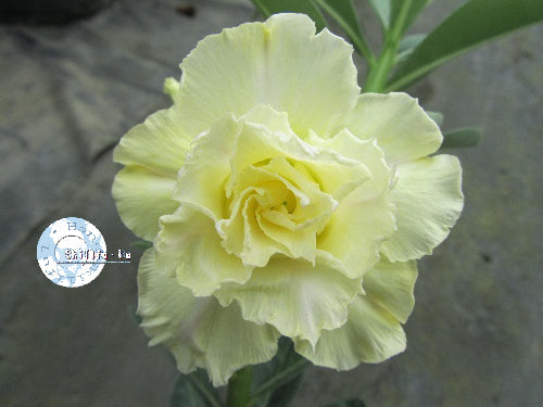 You are purchasing fresh seeds of Adenium KO_ebay41