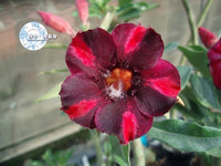 You are purchasing fresh seeds of Adenium KO_ebay42