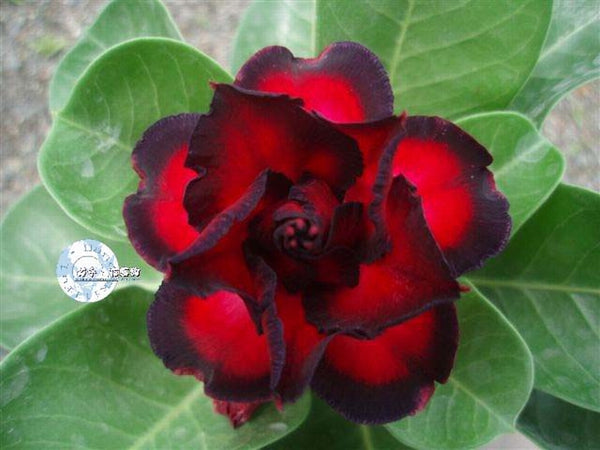 You are purchasing fresh seeds of Adenium KO_ebay46