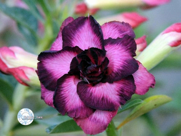 You are purchasing fresh seeds of Adenium KO_ebay49