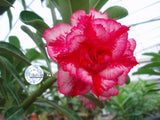 You are purchasing fresh seeds of Adenium KO_ebay04