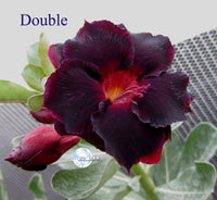 You are purchasing fresh seeds of Adenium KO_ebay51