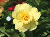 You are purchasing fresh seeds of Adenium KO_ebay55