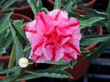 You are purchasing fresh seeds of Adenium KO_ebay62