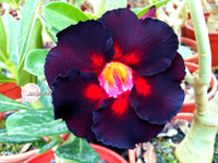 You are purchasing fresh seeds of Adenium KO_ebay67
