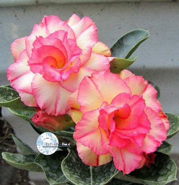 You are purchasing fresh seeds of Adenium KO_ebay06
