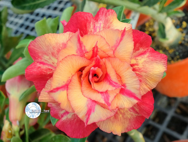 You are purchasing fresh seeds of Adenium KO_ebay70