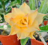 You are purchasing fresh seeds of Adenium KO_ebay74