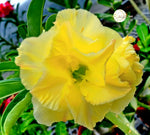 You are purchasing fresh seeds of Adenium KO_ebay77