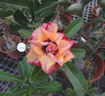 You are purchasing fresh seeds of Adenium KO_ebay85