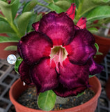 You are purchasing fresh seeds of Adenium KO_ebay86