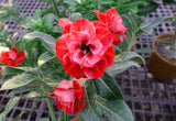 You are purchasing fresh seeds of Adenium KO_ebay92